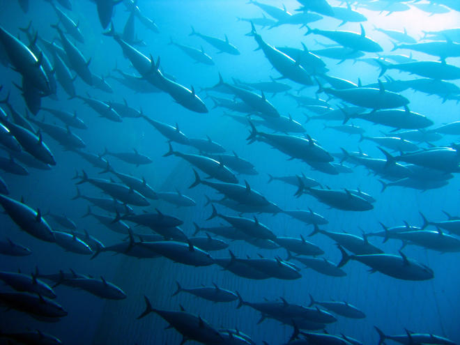 School of tuna in the water. Photo: Greenpeace.