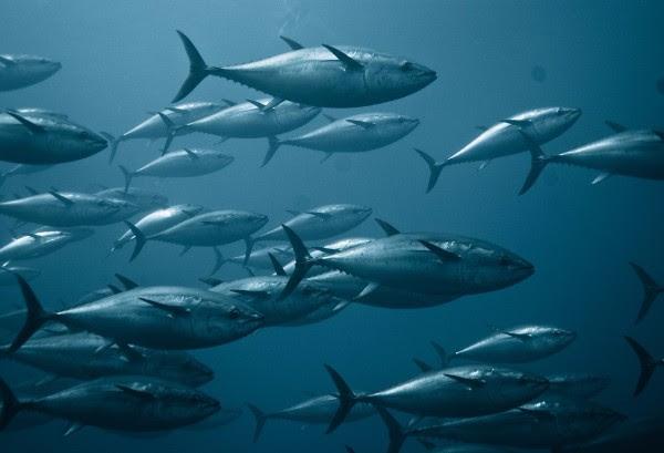 Pew: Mexico, Japan breach bluefin fishing limit again