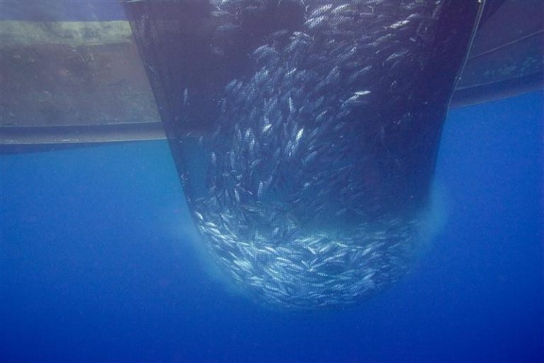 Underwater photo of a school of skipjack tuna caught in a purse-seine net. The bottom of the fishing vessel is also visible. Photo Undercurrent News.