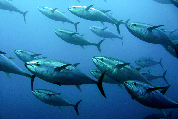 Tuna experts sceptical of Japanese bluefin tuna proposal