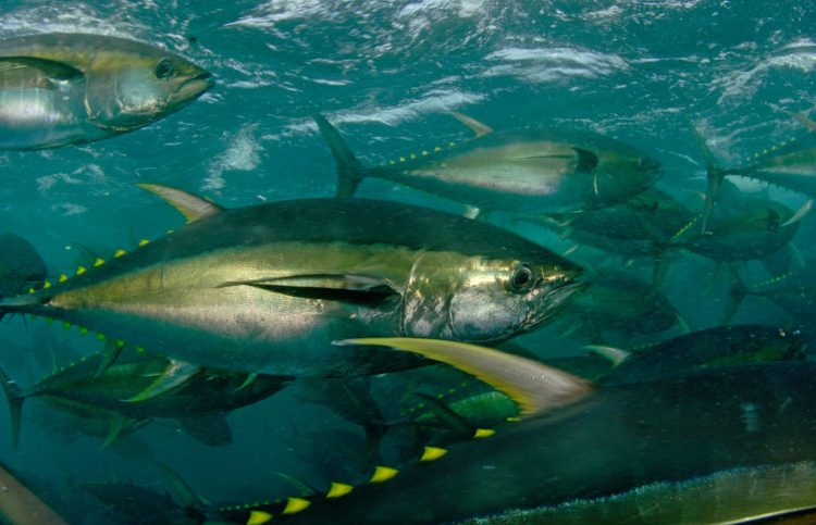 Yellowfin tuna swimming in a school in the ocean. Photo World Wildlife Fund.