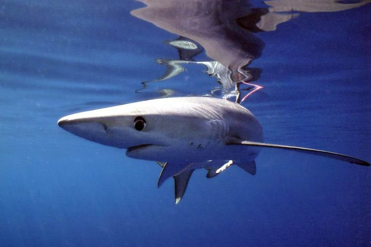 New push to protect sharks at Tuna Commission