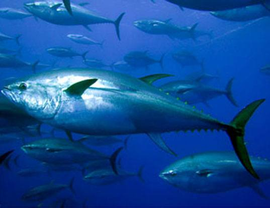 Tuna industry body supports Tongan fishing industry