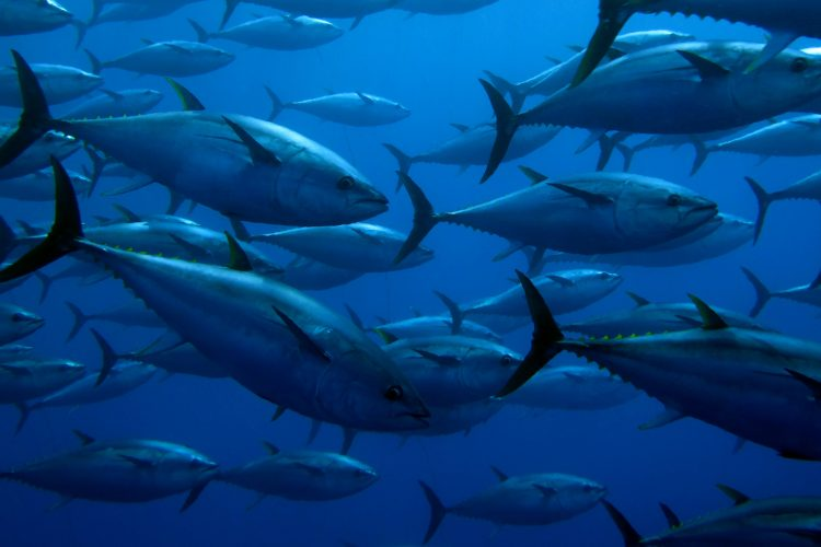 Climate change likely to see tuna move from Pacific territories, warns scientist