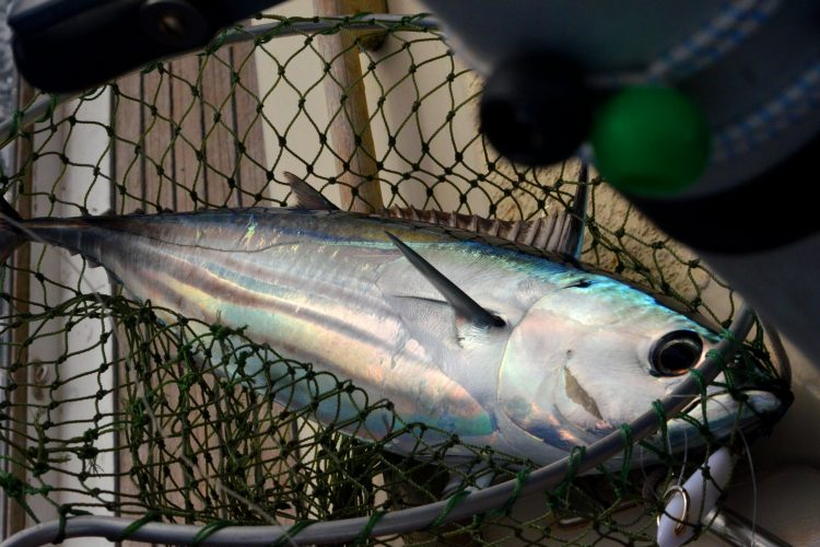 Yellowfin tuna, Thunnus albacares, in net. Photo: Graham and Dairne/Flickr.
