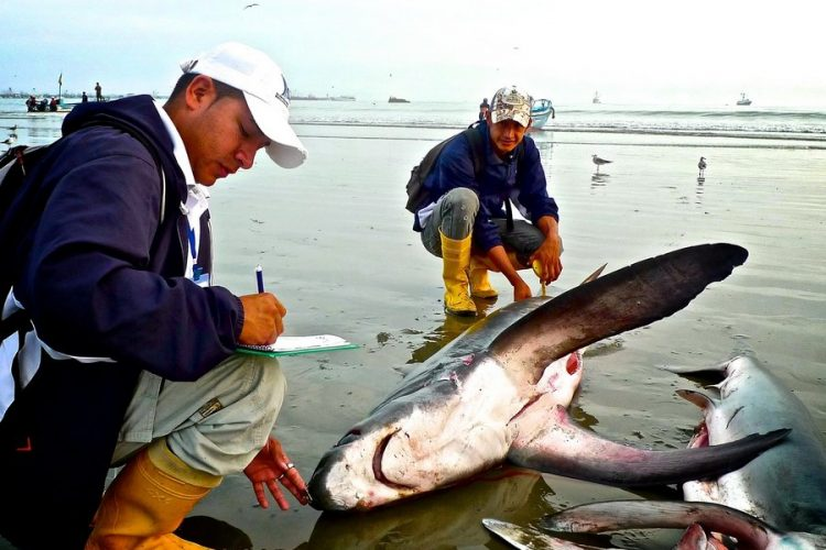 Measuring dead shark on beach photo by Francisco Blaha