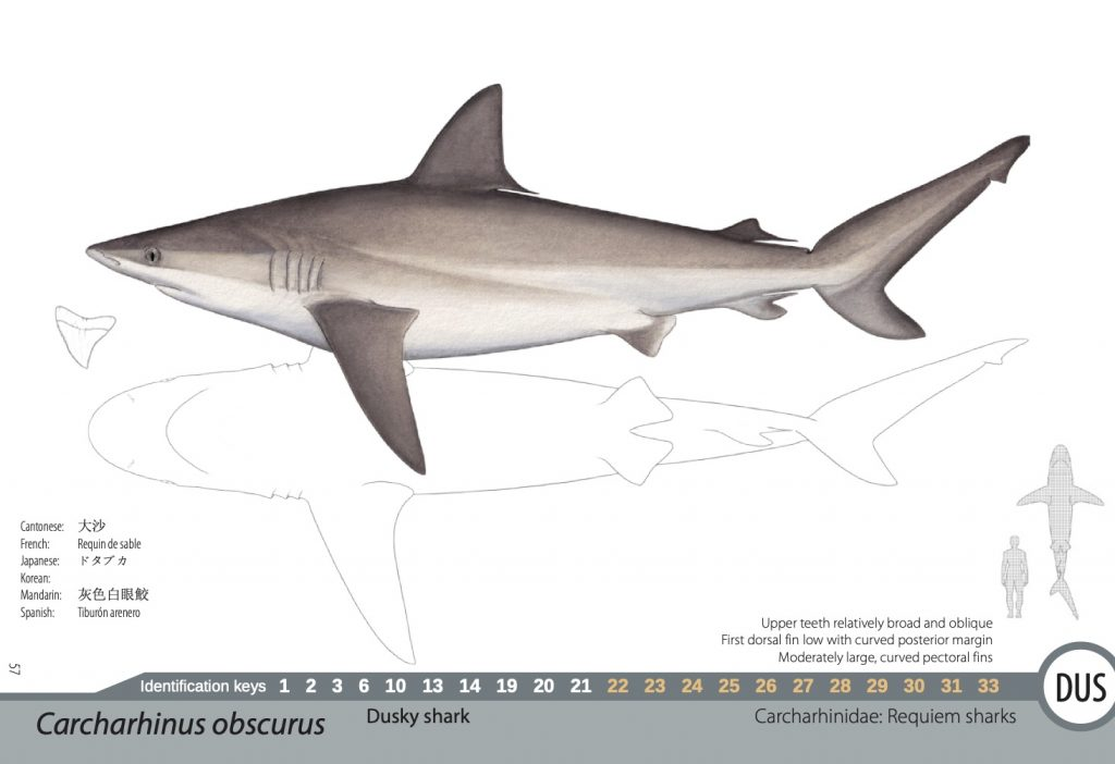 Drawing of shark, with information to help confirm which species it is from others. From page of shark and ray identification manual. Image Pacific Community.