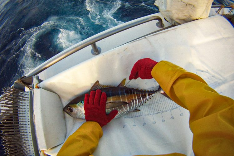 Nearly 17,000 tuna tagged in latest research cruise