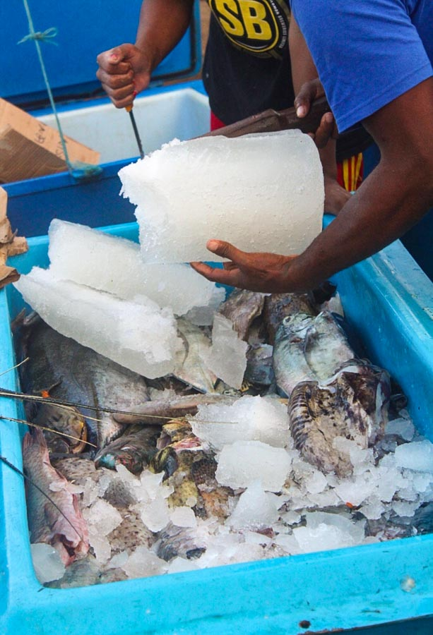 Two men (arms and one torso only visible) break up blocks of ice to add to bin of fish to be transported. On Russell Islands, Solomon Islands.
