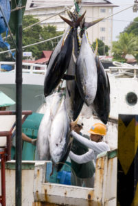 Tuna being prepared for export from Palau to Japan