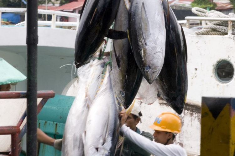 Several tuna hanging from a hook at above head height being prepared for export from Palau to Japan