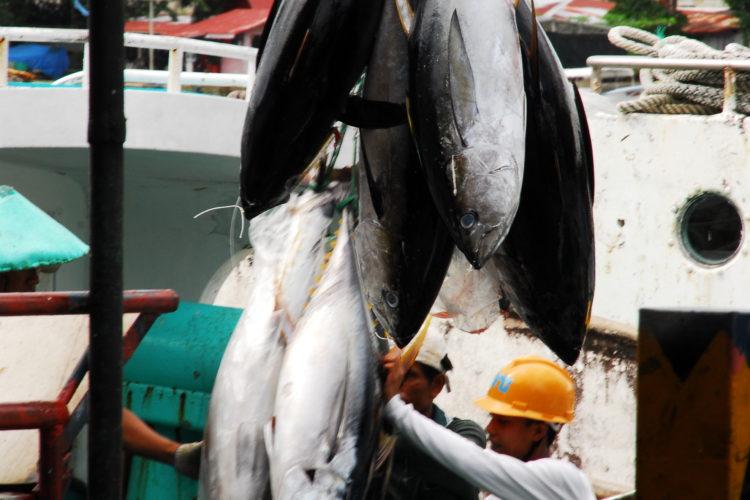 Offloading tuna in Palau (Photo: Richard W. Brooks)