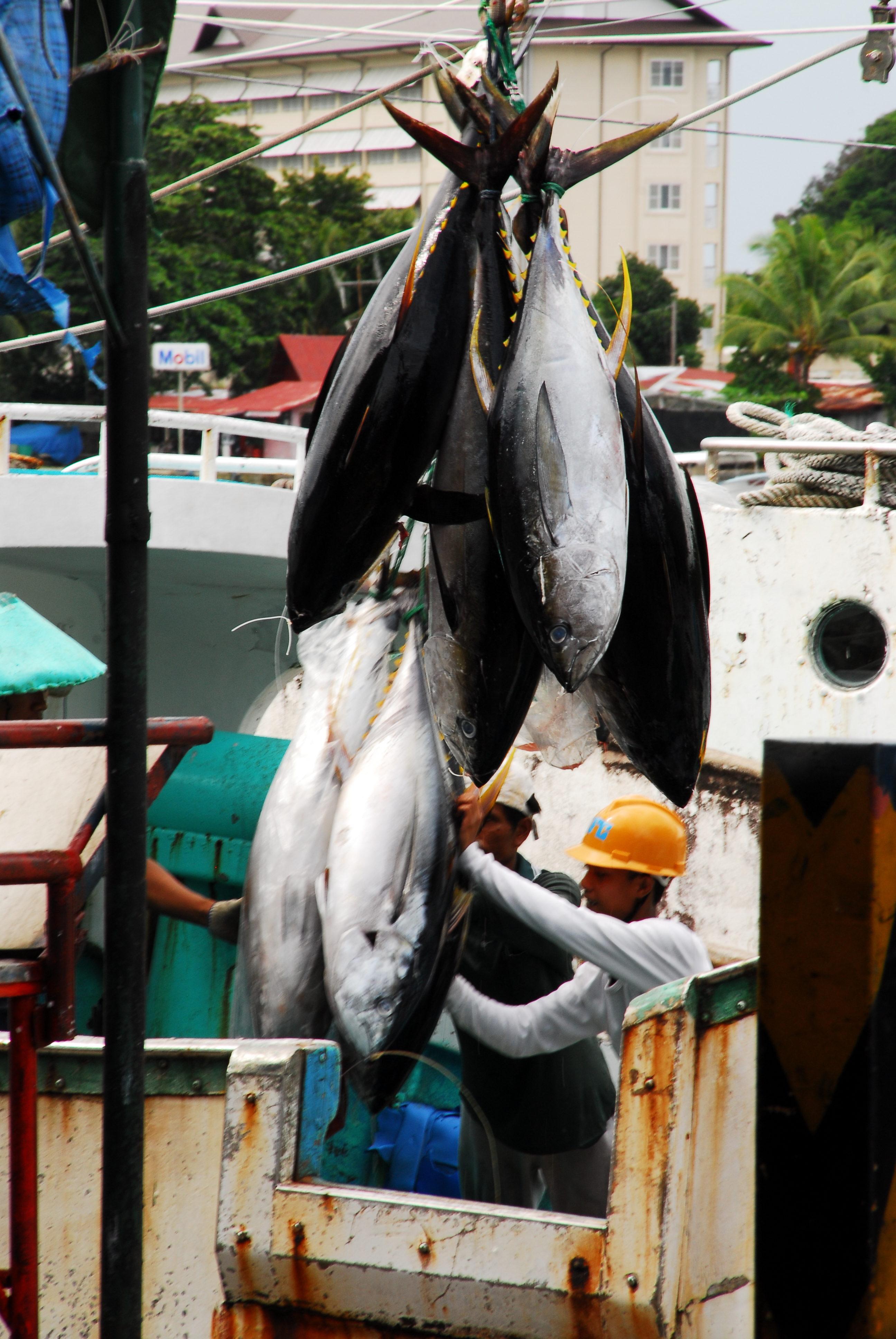 Palau checks out movement of yellowfin tuna, blue marlin