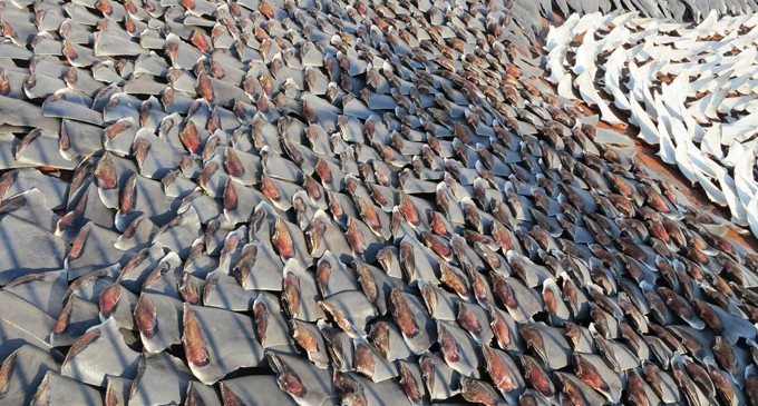 Shark fins worse than their bite at tuna talks