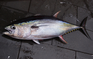 New tuna longline FIPs have potential to turn the tide at RFMO negotiations