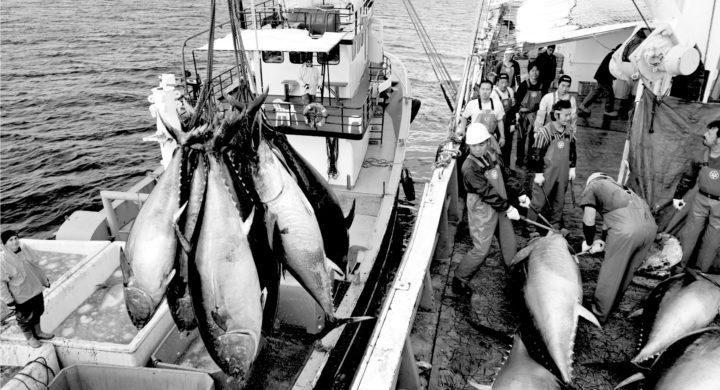 ISSF: Most of world's tuna stocks still not receiving passing MSC scores