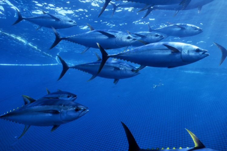 WCPO bigeye and yellowfin tuna stocks remain healthy
