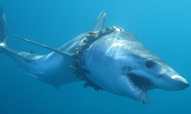 Sharks at increasing risk of becoming fishing bycatch