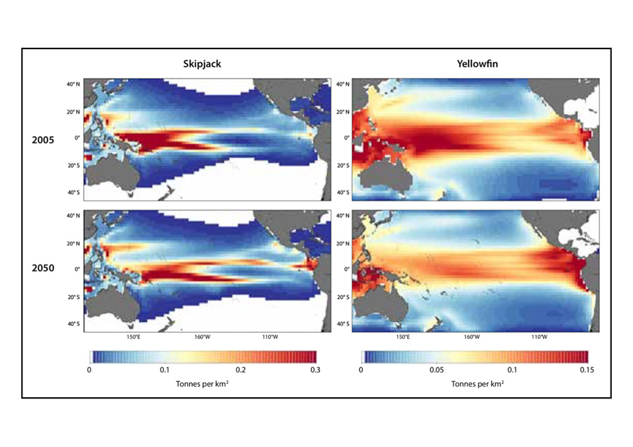 Four maps showing movement of two species of tuna, skipjack and yellowfin, from western Pacific Ocean eastwards as a result of changes in the ocean with climate change. Source Pacific Community policy brief 2019