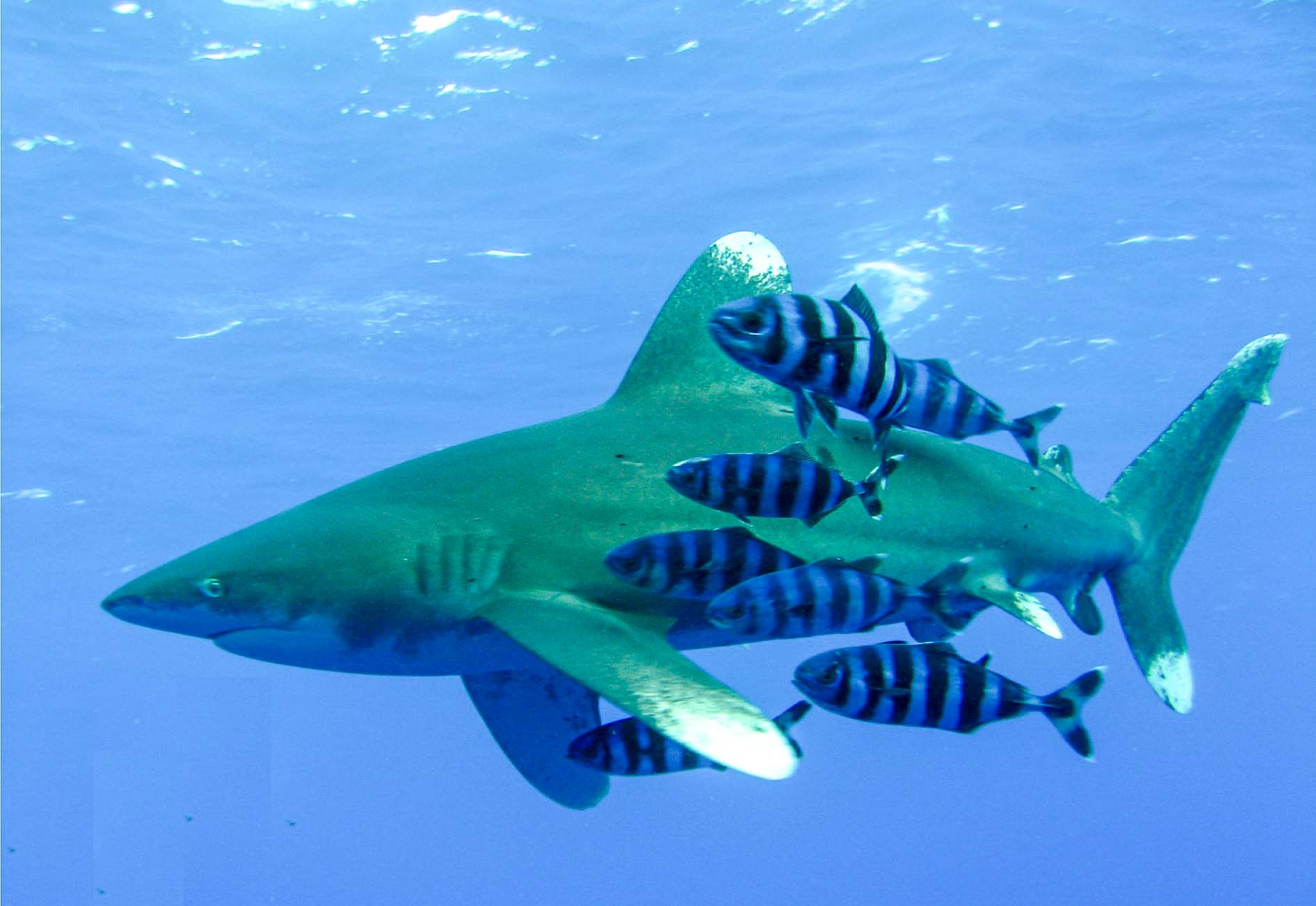 Call for urgent action as oceanic whitetip sharks face extinction