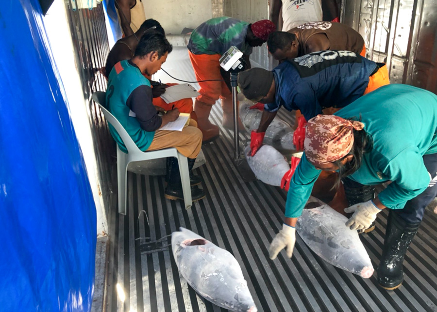 Frozen tuna caught in Solomons Islands waters by Taiwanese fishing vessels being prepared by local employees and Taiwanese for export. Photo: Ian Lin