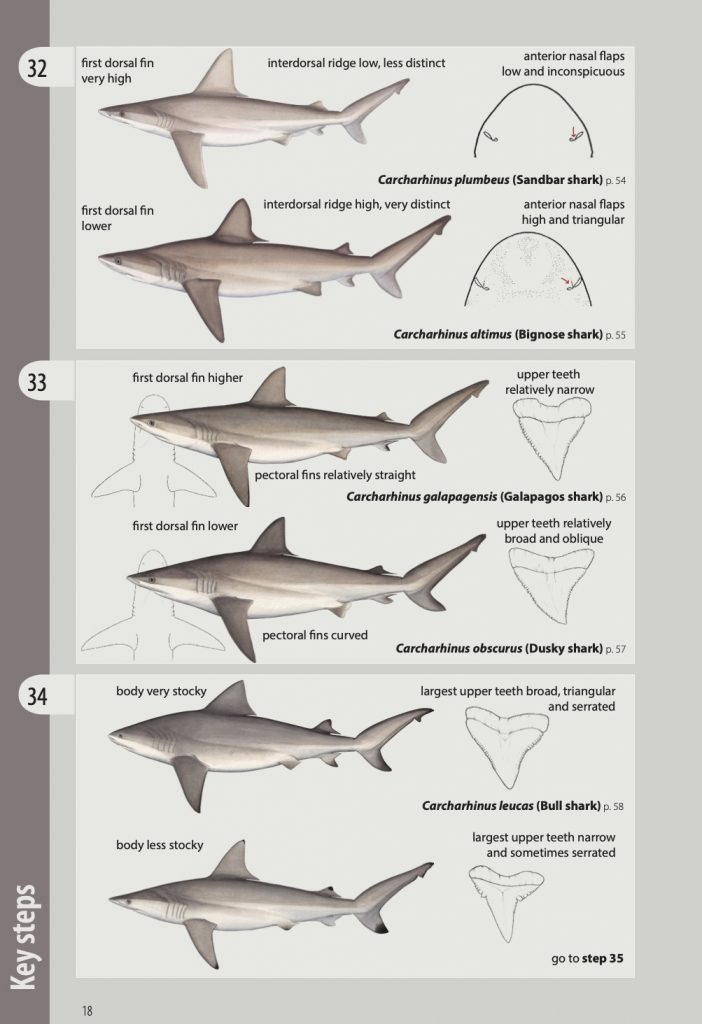 Drawings of sharks in pairs from key steps page of shark and ray identification manual. Image Pacific Community.