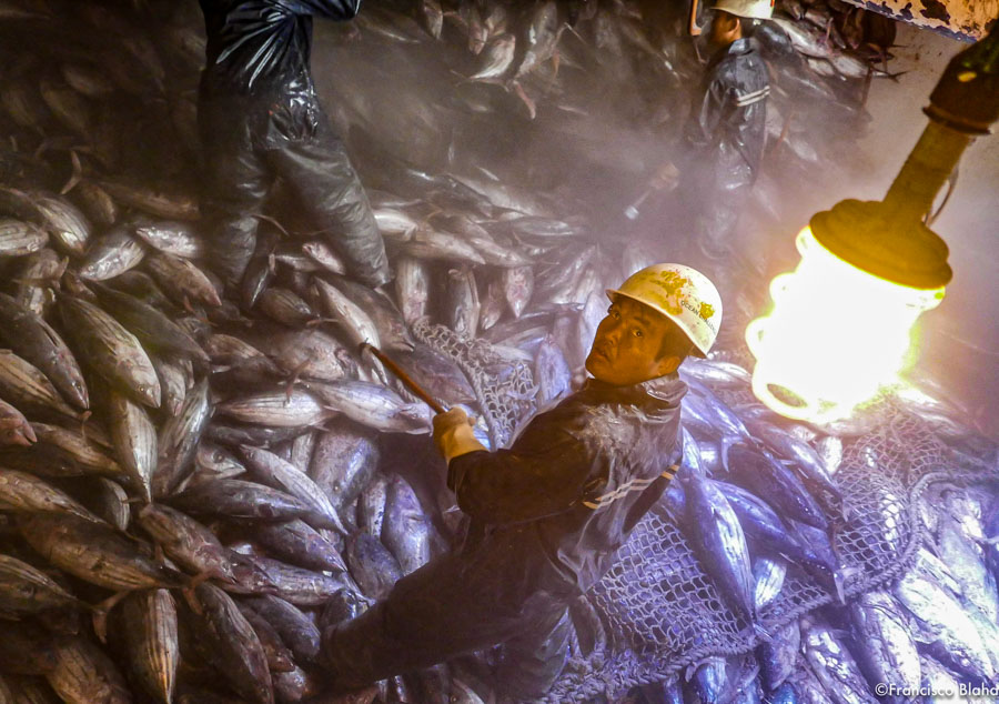 Three fishers stand among hundreds of tuna in a ship's hold. Photo Francisco Blaha.