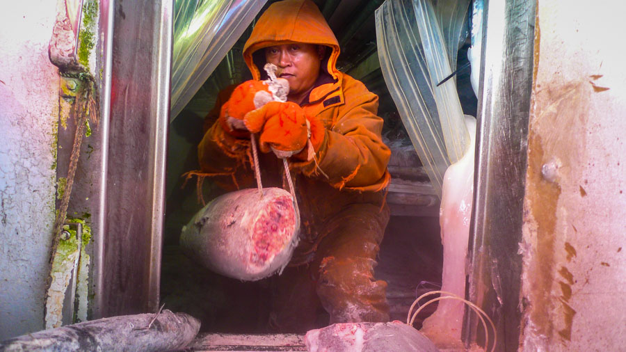 Man in clothing to protect him from icy environment in ship's hold with part of a tuna. Photo Francisco Blaha