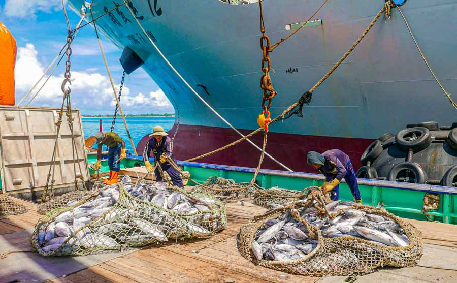 Tuna in nets being transhipped from purse-seine vessel at Honiara port. Photo Francisco Blaha.