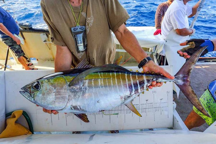 Man holds a bigeye tuna with archival tag inserted into its abdomen about to be released back into the ocean during Pacific Community's 2020 tuna tagging research cruise. Photo SPC.