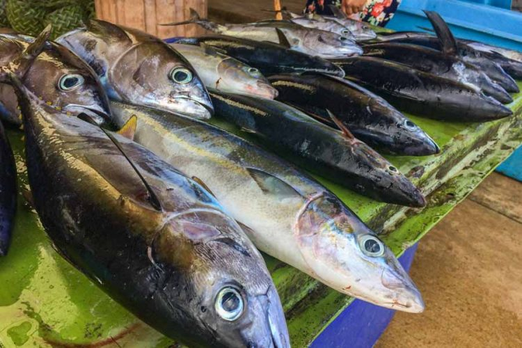 High fees to sell tuna at Gizo force fishers into unsustainable reef fishing