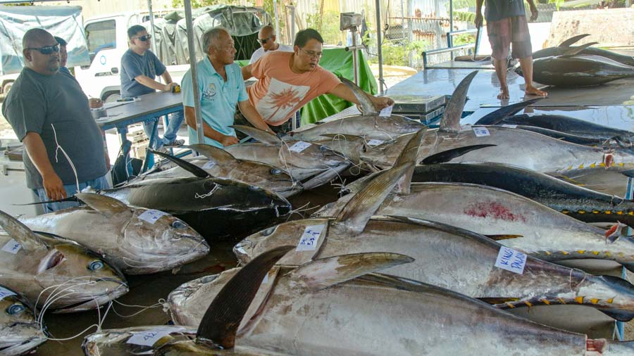 In Palau, a bench laden with fresh-caught tuna that have been graded, weighted and measured before local sale. Photo Richard Brooks