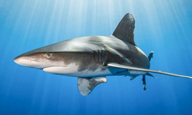 WWF calls for urgent measures to recover heavily depleted oceanic sharks and rays: media release