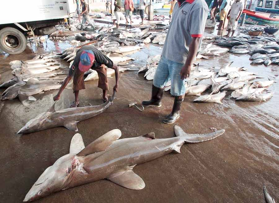 An oceanic whitetip shark (foreground) and other sharks before auction at the Negombo fish market, Sri Lanka. Photo: WWF/Andy Cornish