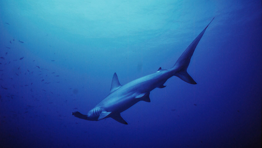 A scalloped hammerhead shark in waters near Fiji. Photo Cat Holloway.